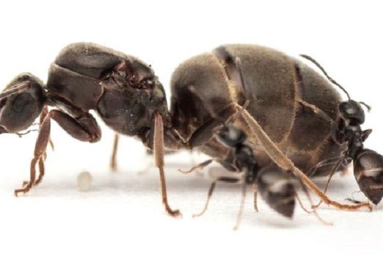 ratu semut L.niger
