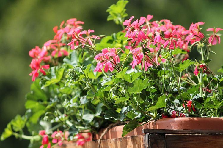 Ilustrasi tanaman hias bunga geranium terkena sinar matahari.