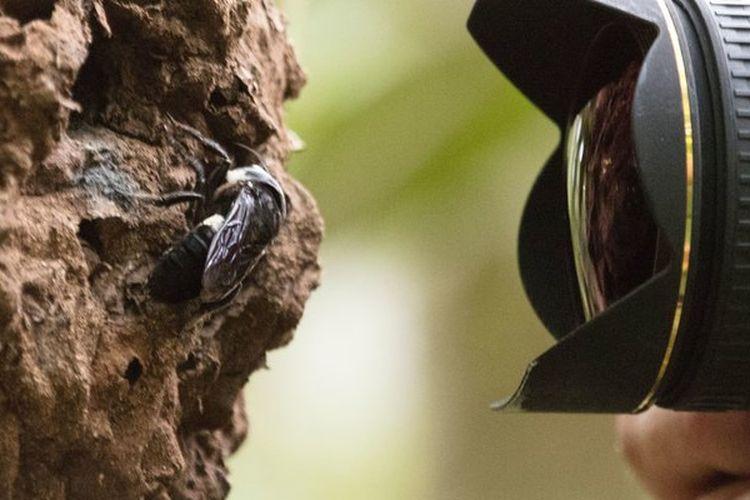 Lebah raksasa Wallace difoto oleh Clay Bolt di luar rumahnya. Spesies yang telah menghilang selama 40 tahun ini ditemukan di kepulauan Maluku.