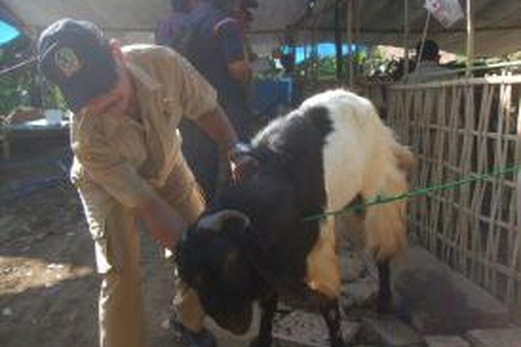 Dinas Peternakan memeriksa hewan kurban yang dijual pedagang dadakan di seputarn jalan Kepiting Banyuwangi Selasa (8/10/2013)
