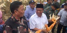 Petani di Lamongan dan Tuban Berhasil Panen 30.000 Ton Jagung
