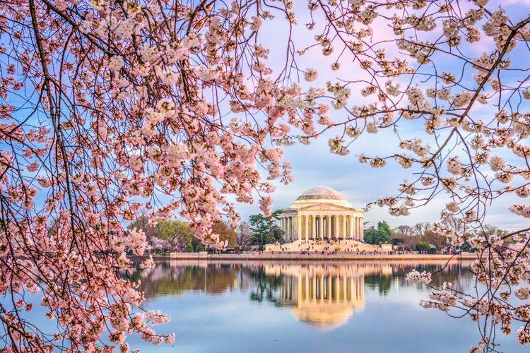 Sakura mekar di Washington DC, Amerika Serikat.