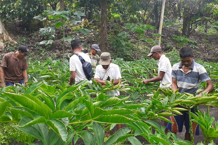 Desa Rana Kulang, Kecamatan Elar, Kabupaten Manggarai Timur, NTT menjadi pusat tanaman porang di NTT. Ribuan porang ditanam oleh petani, Februari 2021.