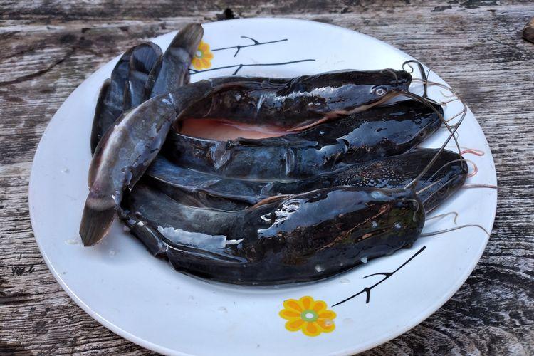 Ilustrasi ikan lele yang hendak dibersihkan.
