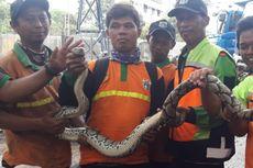 Petugas Temukan Ular Sanca Sepanjang 3 Meter Saat Bersihkan Kali Pesanggrahan dari Sampah Banjir
