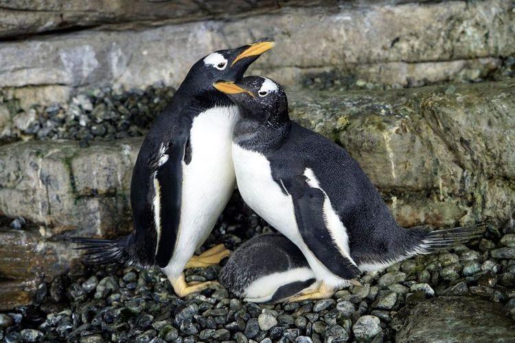 Sepasang Penguin Betina Diberi Kepercayaan Punya Anak Begini Kisahnya Halaman All Kompas Com