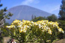 Mengenal Bunga Edelweis, Bunga Abadi di Gunung yang Tak Boleh Dipetik