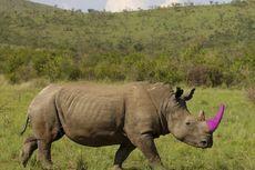 Kisah di Balik Badak Bercula Pink di Afrika Selatan