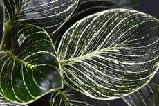Philodendron Birkin, Tanaman Hias Cantik yang Popularitasnya Melesat
