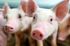 Sudden Death of Over 800 Pigs in Indonesia Sparks Concern