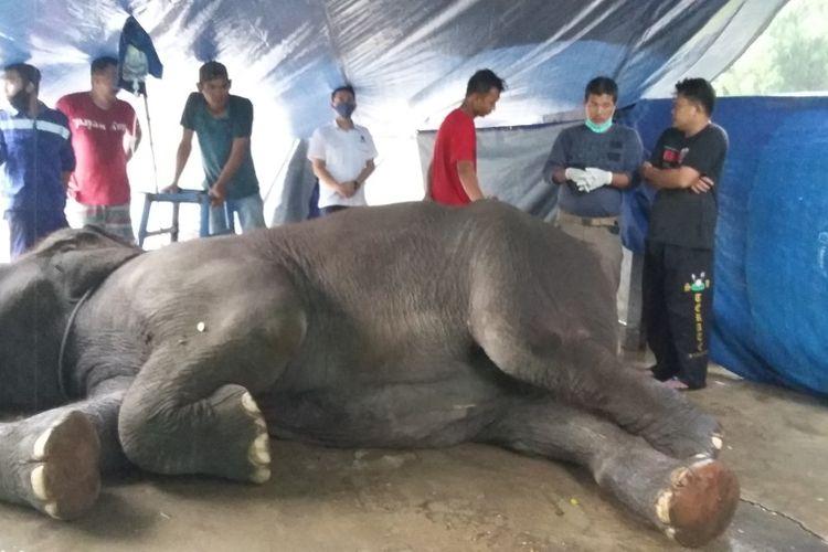 Gajah Yanti (38) saat nekropsi untuk diketahui penyebab kematiannya, pada Kamis (8/10/2020). Dokumen BKSDA.