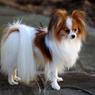 7 Ras Anjing Peliharaan Berbulu Lebat, Lembut dan Menggemaskan