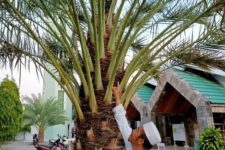 Ketua pengurus Masjid Agung Selayar  Arfang Arief menyaksikan pohon kurma tumbuh dan berbuah di Halaman Masjid  Agung Al Umaraini, Kabupaten Kepulauan Selayar, Sulawesi Selatan.