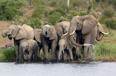 Mengapa Gajah Tidak Bisa Melompat?