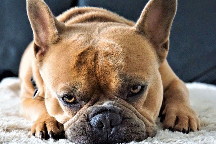 Ilustrasi ras anjing French Bulldog.