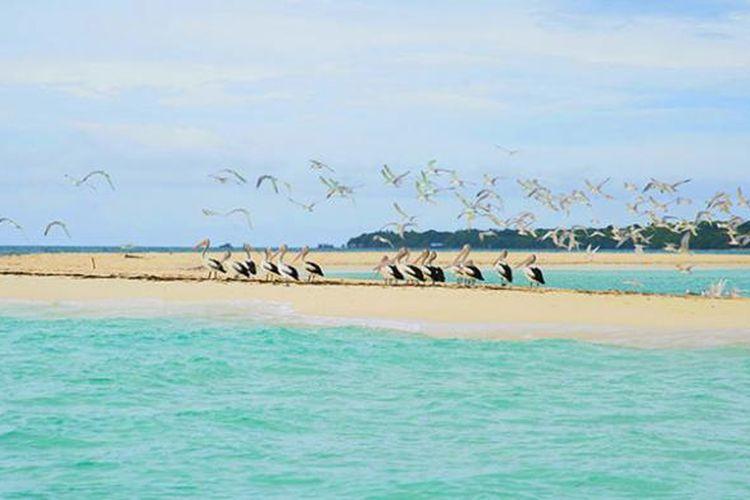 Burung Pelikan di Pantai Pantai Ngur Tavur, Kabupaten Maluku Tenggara, Maluku.