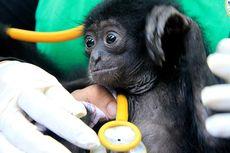 Mengintip Perawatan Bayi Siamang dan Beruang Madu oleh BKSDA Banda Aceh