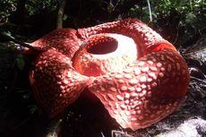 Terbesar Sedunia, Bunga Rafflesia di Agam Dijaga Ketat