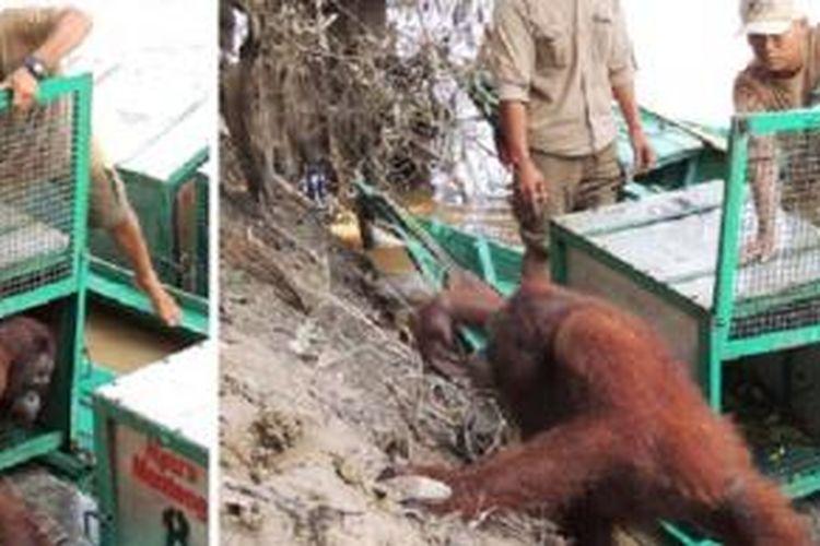 Pony, orangutan yang pernah menjadi korban pelacuran, akhirnya mendapatkan kesempatan untuk hidup bebas lagi lewat pra-lepasliaran di Pulau Kaja.