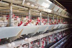 Fasilitas Pembiakan dan Penetasan Telur Ayam Diresmikan di Yogyakarta