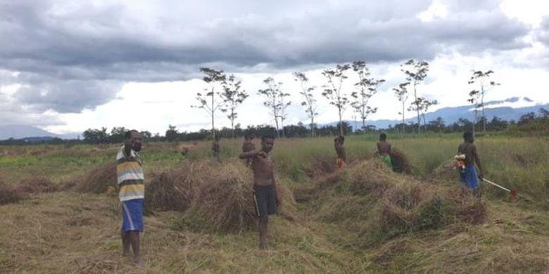 Sejumlah warga membabat rumput untuk menyiapkan kebun di Distrik Wouma, Kabupaten Jayawijaya, Papua.