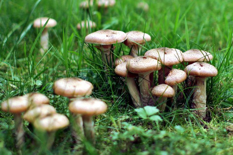 Ilustrasi jamur di rumput halaman rumah.