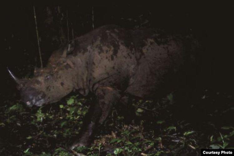 Badak Sumatera yang berhasil terekam camera trap di kawasan Taman Nasional Gunung Leuser, Aceh.
