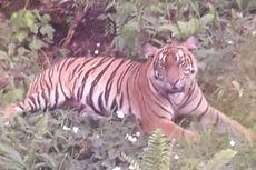Teror Harimau Hantui Warga Sumsel, Apa Penyebabnya?