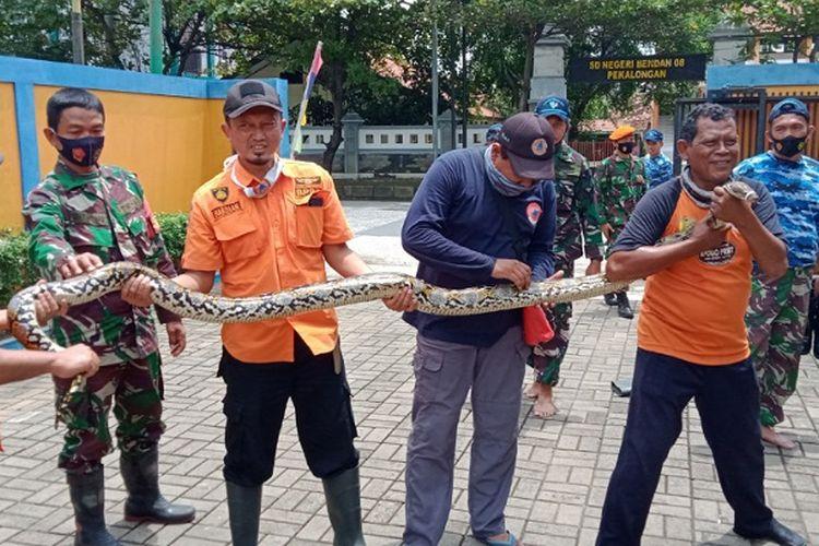 Ular Sanca Kembang sepanjang 3,5 meter yang diamankan petugas BPBD Kota Pekalongan Jawa Tengah.
