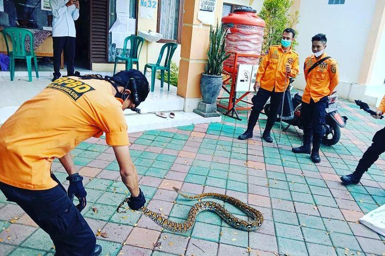 Petugas animal rescue BPBD Kota Banjarmasin mengevaluasi seekor ular Sanca di salah satu rumah warga.