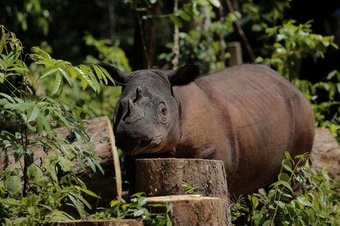 Badak Sumatera Kritis, Berikut Upaya Penyelamatan Populasi Satwa Asli Indonesia Ini