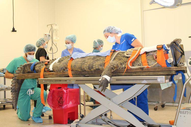Tim dari rumah sakit hewan milik Universitsa Florida mencoba mengeluarkan sepatu dari dalam perut seekor buaya bernama Anuket,