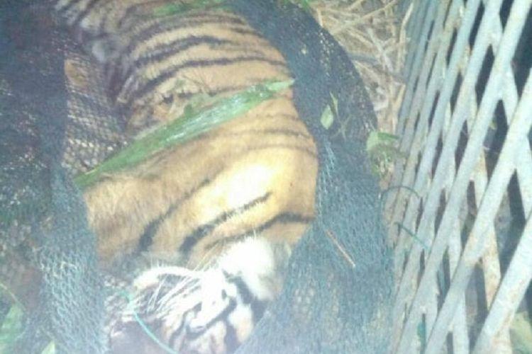 Harimau sumatera yang ditemukan mati di Desa Sihaporas, Kecamatan Sosopan, Kabupaten Padang Lawas, Sumatera Utara pada 2017 lalu dan jadi tontonan warga.