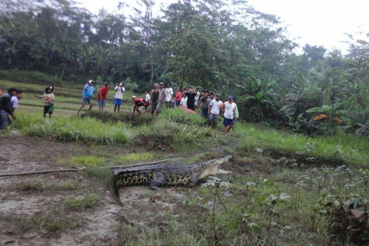 Warga mencoba menangkap buaya muara berukuran 3,5 meter yang masuk ke areal persawahan di Dusun Pagak, Desa Kedungwinangun, Kecamatan Klirong, Kebumen, Jawa Tengah, Selasa (17/10/2017).