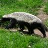 Honey Badger, Hewan yang Tak Mengenal Rasa Takut
