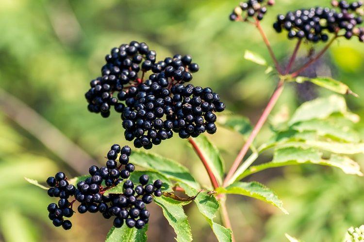 Kenalan dengan Elderberry, Buah Mungil Penjaga Daya Tahan Tubuh