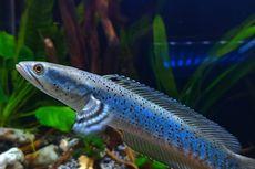 Ikan Channa, Kerabat Ikan Gabus yang Cantik untuk Dikoleksi