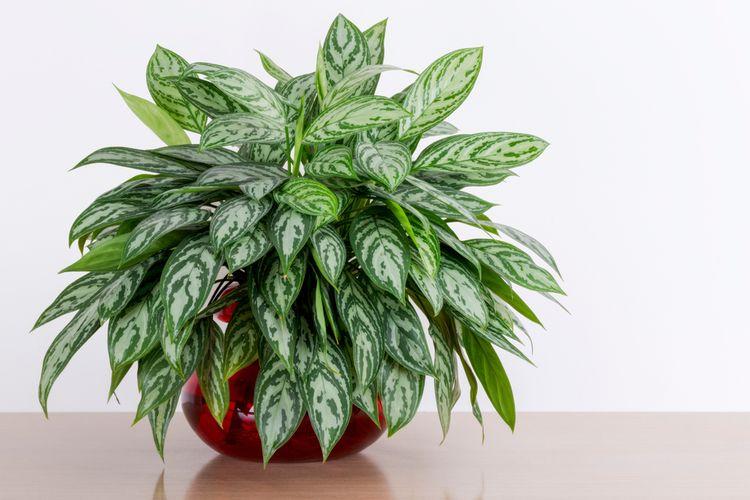 Ilustrasi aglonema maria