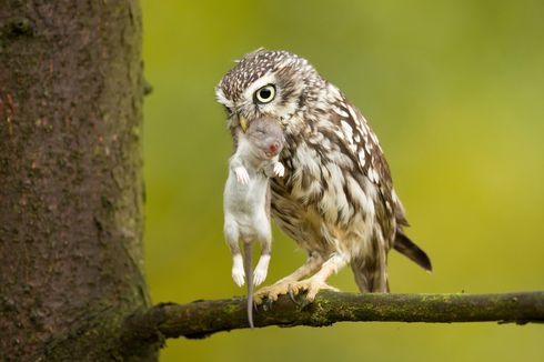 Ternyata Ini Kekuatan Super Penglihatan Burung Hantu di Malam Hari
