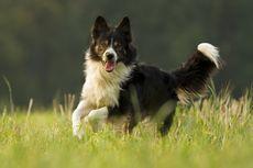 Penelitian Buktikan Anjing adalah Hewan yang Cerdas