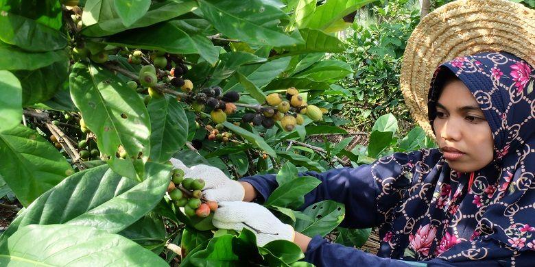 Petani Kopi yang tergabung dalam Kelompok Tani Liberika Rangsang Meranti tengah memetik buah kopi.