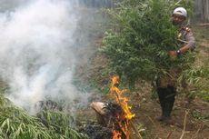 Polisi Musnahkan 13 Hektar Ladang Ganja di Aceh