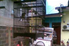 Di Tengah Banjir Jakarta, Pria Ini Curi Burung Murai Batu