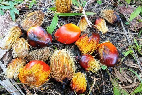 Minamas Plantation Luncurkan Bibit Sawit Baru, iCalix