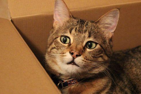 Mengapa Kucing Suka Bersembunyi di Kotak Kardus?