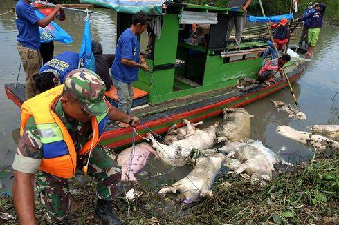 Belum Ada Tersangka Pembuang Bangkai Babi di Sumut, Polisi Periksa 5 Peternak