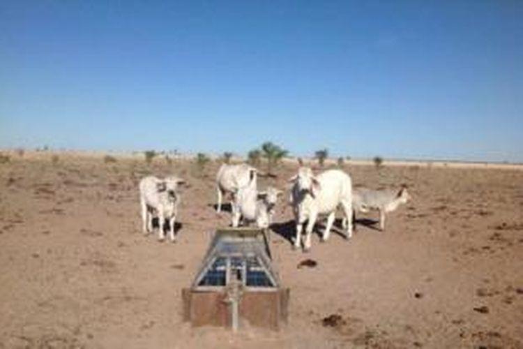Industri peternakan di Queensland kesulitan mendapatkan pasokan air minum untuk ternak mereka karena sudah 21 bulan tidak turun hujan.