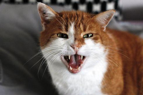 Inilah Alasan Kucing Suka Menggaruk dan Cara Mencegahnya