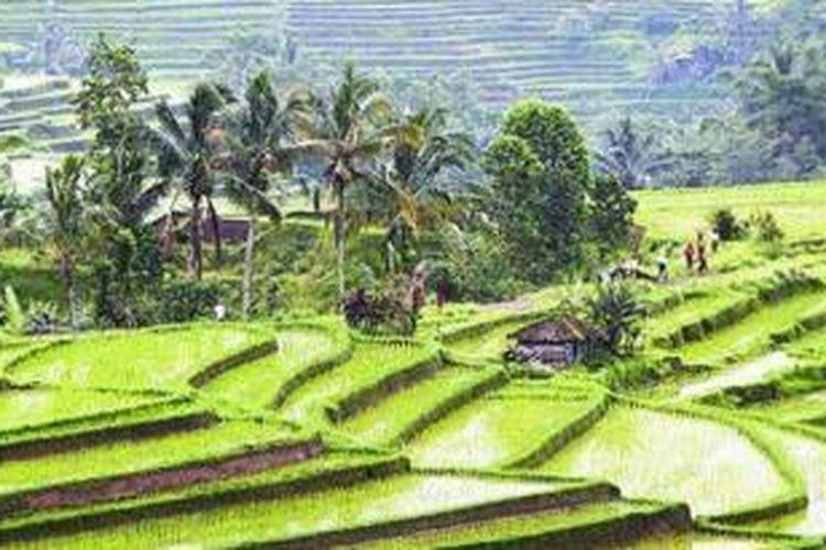 Sistem pengairan subak dan terasering serta pupuk organik dari kotoran hewan diterapkan di Desa Jatiluwih, Kecamatan Penebel, Kabupaten Tabanan, Bali, Rabu (2/2/2011).