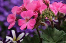 5 Manfaat Bunga Geranium Selain untuk Mengusir Nyamuk